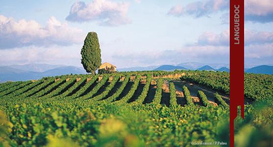 1907: Appellation Languedoc - achat et vente de  vin  du Languedoc Roussillion